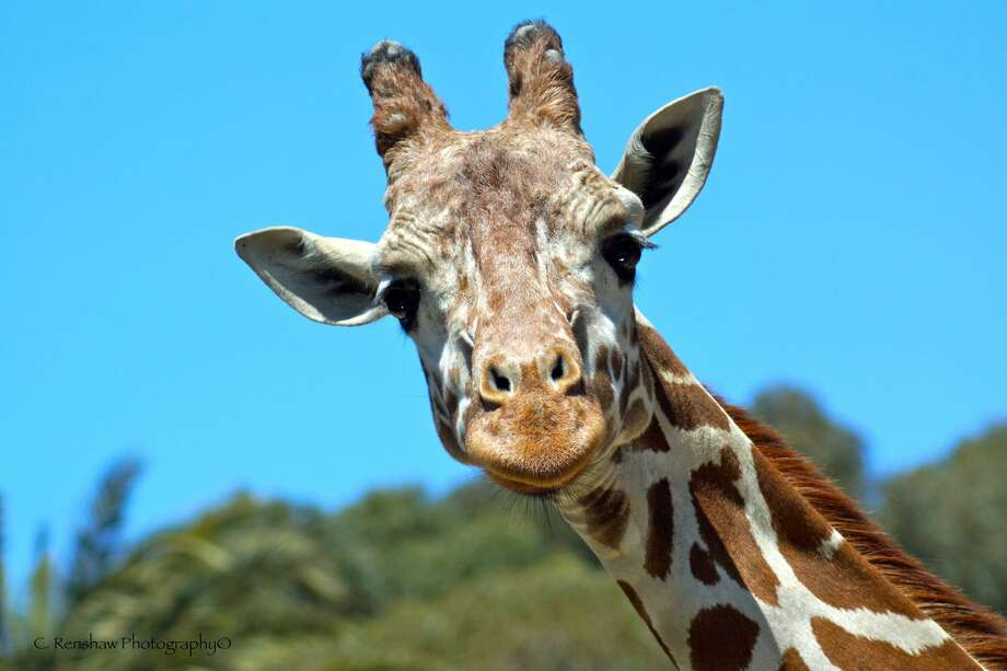 Benghazi, the Oakland Zoo's well-known painting giraffe, died Thursday after complications due to a back injury. He had just celebrated his twenty-third birthday on March 26.    Photo: Oakland Zoo