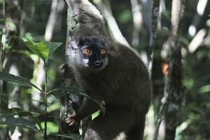 A lemur pauses in Andasibe-Mantadia National Park in Madagascar. With a loss of habitat, climate change, overfishing, pollution and invasive species causing a biodiversity crisis, it seems the four horsemen of the Apocalypse are Plastics, Emissions, Deforestation and Homo sapiens.