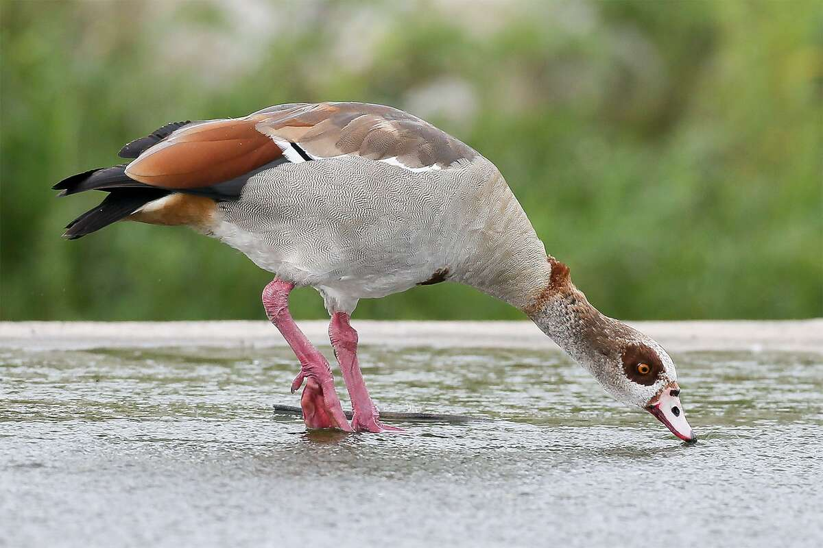 An Egyptian goose searches for food in the shallow water on the Mission Reach segment of the San Antonio River at Padre Park on May 9, 2019. The San Antonio River Authority says the birds could harm native species of birds and has contracted with wildlife management specialists to trap and euthanize them.