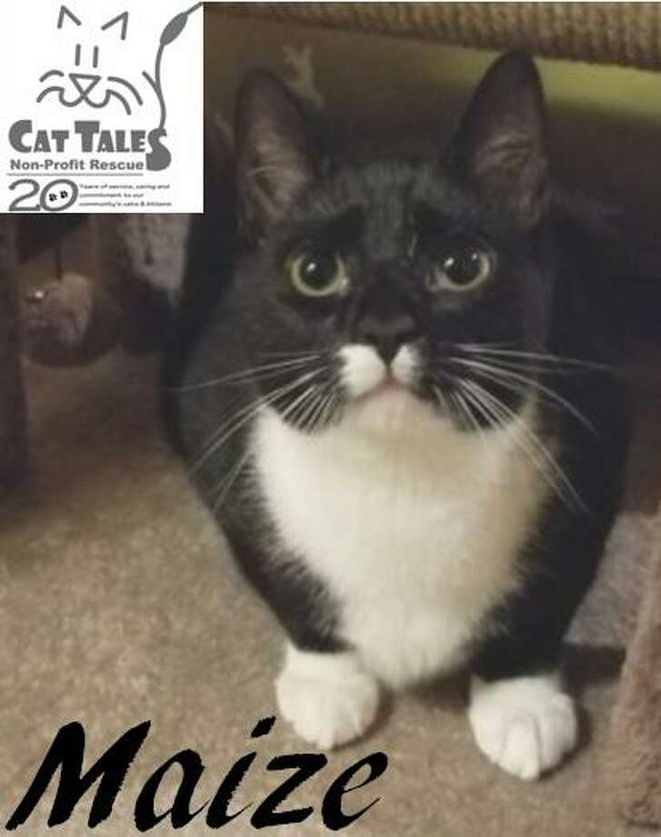 """Maize is a pretty black and white female, about 9 months old. She says, """"Hi there, my name is Maize! I'm a smart, friendly kitty and I love to play with my foster mom, especially """"fetch."""" I'd love to be adopted by a family who will spend the time with me, play with me and teach me new tricks. If you are looking for an active and entertaining pet, then I'm the kitten for you! Adopt me today."""" Visit http://www.CatTalesCT.org/cats/Maize, call 860-344-9043, or email info@CatTalesCT.org. Watch our TV commercial: https://youtu.be/Y1MECIS4mIc Photo: Contributed Photo"""