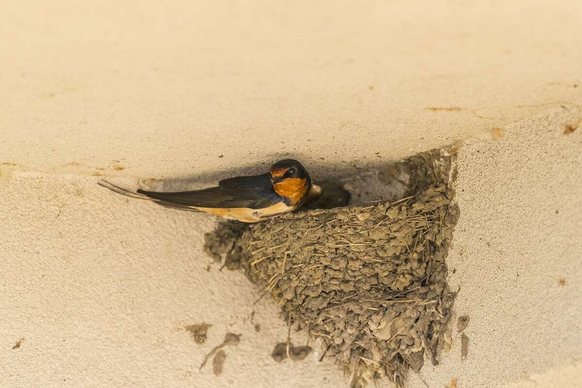 Barn swallows plaster pellets of mud against a wall or ledge to form an adobe-styled nest in the shape of a half-cup.