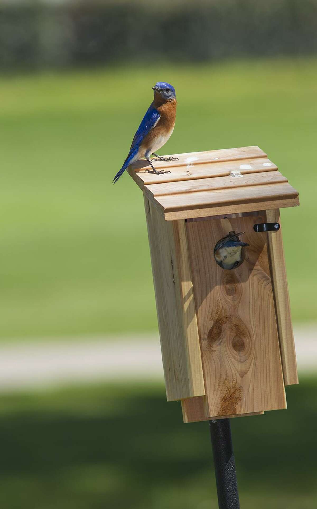 A female eastern bluebird enters her nest box while her mate keeps watch.