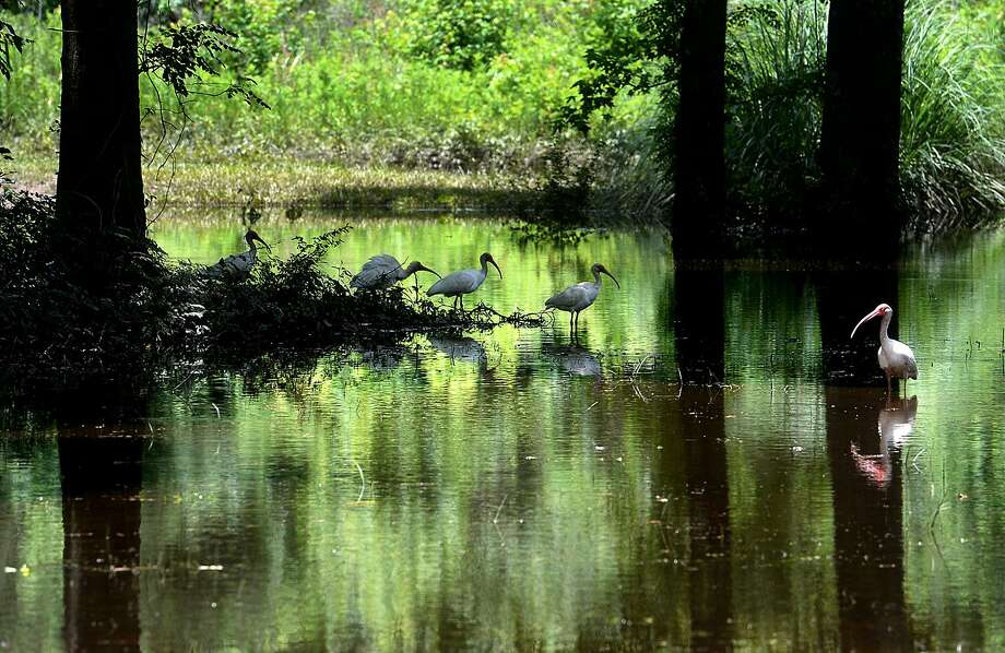 Wildlife and environmental preservation is at the forefront of plans for Orange County Parks, including Claiborne West Park in Vidor. Photo taken Wednesday, June 8, 2016 Kim Brent/The Enterprise Photo: Kim Brent / The Enterprise / BEN