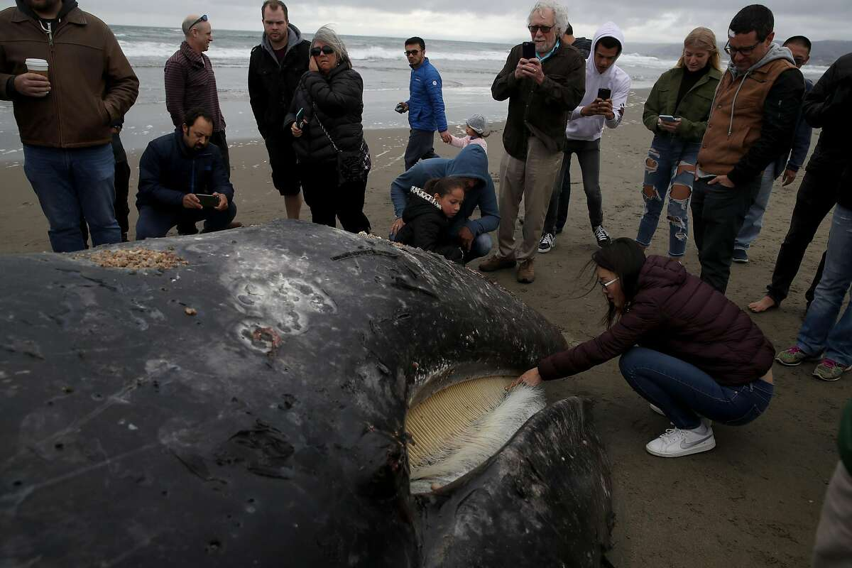 SAN FRANCISCO, CALIFORNIA - MAY 06: People look at a beached dead Gray Whale at Ocean Beach on May 06, 2019 in San Francisco, California. A dead Gray Whale, the ninth to be discovered in and around the San Francisco Bay and Pacific Coast since mid-March, was found beached at San Francisco's Ocean Beach on Tuesday. The Marine Mammal Center will perform a necropsy of the whale on Wednesday to determine the cause of death. Necropsies on 7 of the whales found showed that 4 died from malnutrition and 3 died from ship strikes. (Photo by Justin Sullivan/Getty Images)
