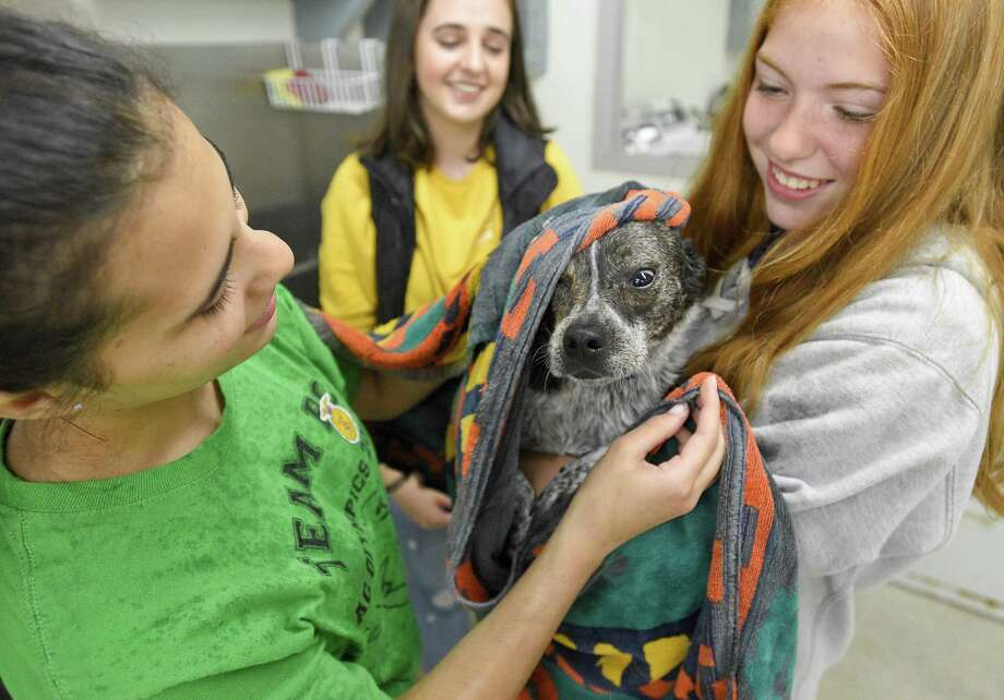 From left, Jaime Versanti, Yuliia Kuzmyn and Kara Sciglimpaglia, all members of Westhill High School's FFA club, pamper Alexa, a mix-breed rescue dog owned by Tom Pereira, Dean of Students at the school after her bath on May 11, 2019 at the schools Agricultural Science and Technology Education (ASTE) Center in Stamford, Connecticut. Students in the school's Agriscience Program get first hand experience on pet care and grooming techniques during the programs annual fundraiser. The students bath, trim nails, cleaned ears and blow dry about a dozen dogs of all sizes. Photo: Matthew Brown / Hearst Connecticut Media / Stamford Advocate
