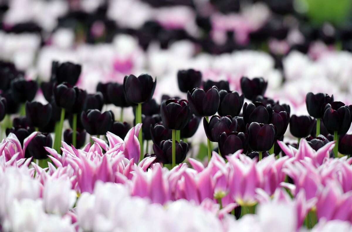 Tulips are in full bloom during the Tulip Festival on Saturday, May 11, 2019 at Washington Park in Albany, NY. (Phoebe Sheehan/Times Union)