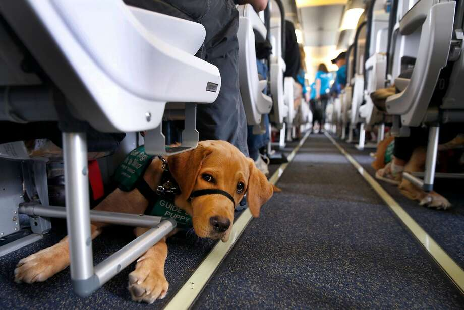 Niagara lies down in a row aboard an airplane during a training session for guide dog puppies at Oakland International Airport in Oakland, Calif. on Saturday, May 11, 2019. About 70 puppies training to become guide dogs practiced going through TSA security lines, boarding airplanes and waiting at baggage claim under a partnership between Alaska Airlines and Guide Dogs for the Blind. Photo: Paul Chinn / The Chronicle