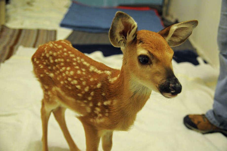 A five-day-old whitetail deer fawn at Treehouse Wildlife Center is among the many sick, injured and orphaned animals that will benefit from donations made during Saturday's Baby Shower event. Photo: For The Intelligencer