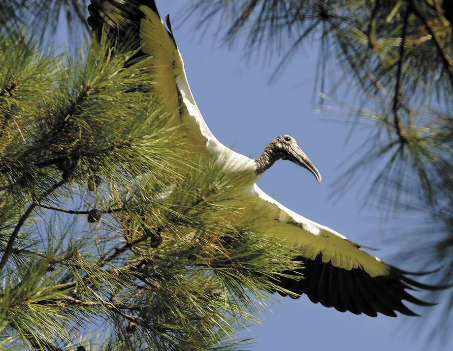 A wood stork takes flight from its perch in a pine tree alongside a lake on Pine Lakes golf course on Jekyll Island, Ga. Wood storks are one of the endangered or federally protected species found in Southeast Texas. Photo: Bobby Haven, MBR / ASSOCIATED PRESS / AP2010