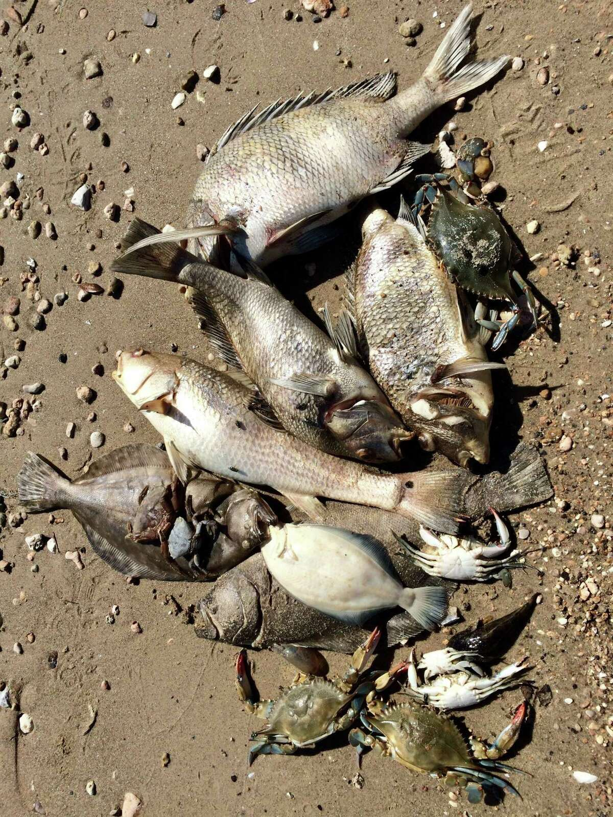 A variety of fish that washed up onto conservation nonprofit Galveston Bay Foundation's property in Kemah, Texas on May 13, 2019. On May 12, roughly 1,000 juvenile fish (1-inch long), approximately 200 blue crab, and a handful of adult flounder, sheepshead, and a variety of drum species washed up onto the property.