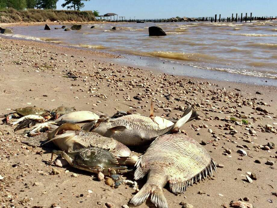 A variety of fish that washed up onto conservation nonprofit Galveston Bay Foundation's property in Kemah, Texas on May 13, 2019. On May 12, roughly 1,000 juvenile fish (1-inch long), approximately 200 blue crab, and a handful of adult flounder, sheepshead, and a variety of drum species washed up onto the property. Photo: Galveston Bay Foundation