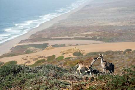 A doe and her fawn above South Beach at Point Reyes National Seashore in Point Reyes, Calif. on Thursday, September 20, 2018.