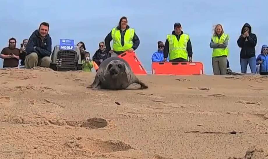 """Mystic Aquarium's Animal Rescue Team released a yearling female harp seal Monday at Rhode Island's Blue Shutters Beach in what they described as """"what may have been the fastest return to sea yet."""" Photo: Contributed"""