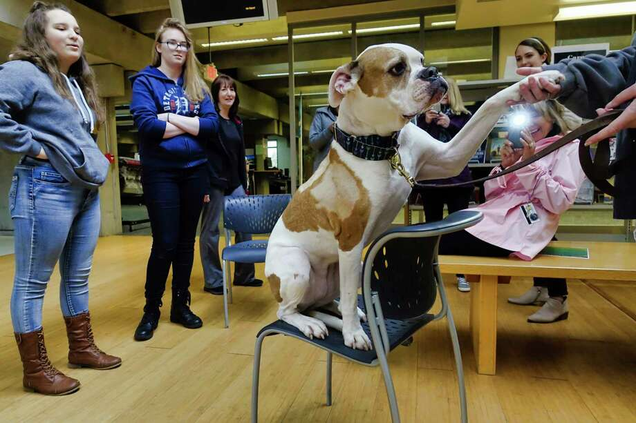 """Therapy dog Cricket, an American bull dog gives her paw to her owner, Nancy Haynes during a De-Stress Fest Thera """"Tea"""" Dogs event at Hudson Valley Community College on Tuesday, May 14, 2019, in Troy, N.Y. The school has various events planned for the week for students taking final exams. Cricket is a rescue dog that Haynes adopted when Cricket was just six months old.   (Paul Buckowski/Times Union) Photo: Paul Buckowski, Albany Times Union / (Paul Buckowski/Times Union)"""