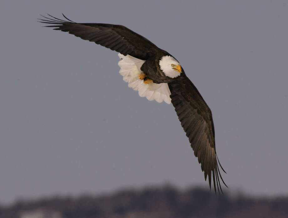 A bald eagle soars over a farm in Sheffield Mills, N.S., Canada. Photo: Andrew Vaughan / ASSOCIATED PRESS / AP2005