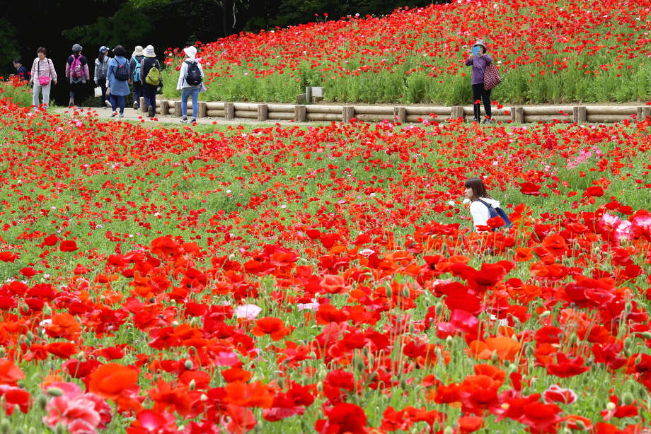 A field of Shirley poppies is seen May 15, 2019, at Showa Kinen Park, on the border between Tachikawa and Akishima cities in Tokyo. About 1.8 million red and pink poppies grow on Flower Hill and can be viewed until later this month. Photo: Japan News-Yomiuri / The Yomiuri Shimbun