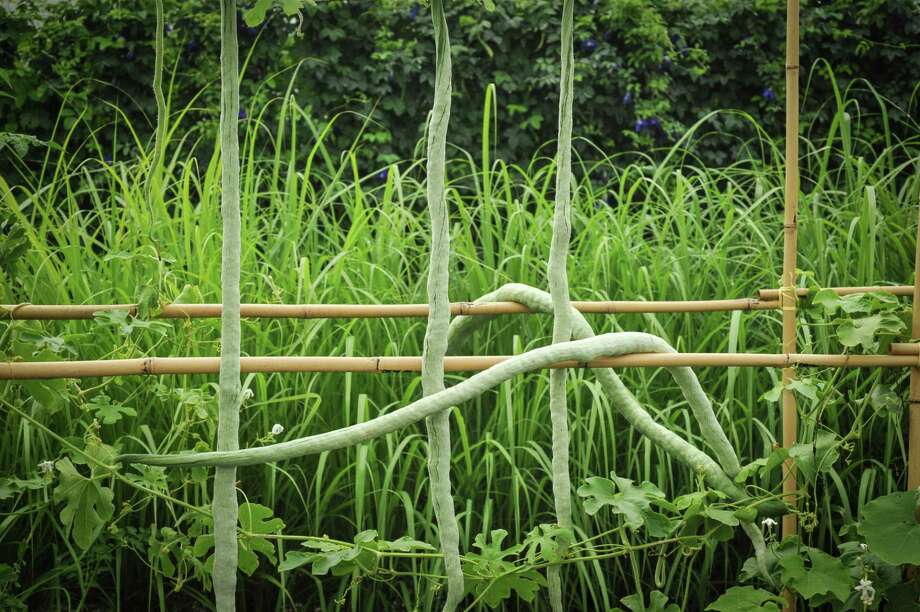 Baker Creek's Chinese snake bean is a gourd with a flavor akin to green beans and a penchant for sturdy trellises. It is growing in front of lemon grass, another vigorous food plant from Southeast Asia. Photo: Baker Creek Heirloom Seeds / The Washington Post