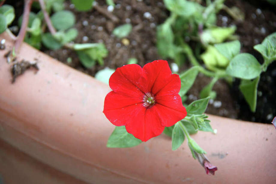A Red Wave Petunia is one of the many floral choices in this year's flower pots assembled by the Beautification and Tree Commission Tuesday. Photo: Charles Bolinger | The Intelligencer