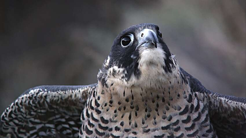 Tight shot of peregrine falcon's head as it looks around. (Getty Images)