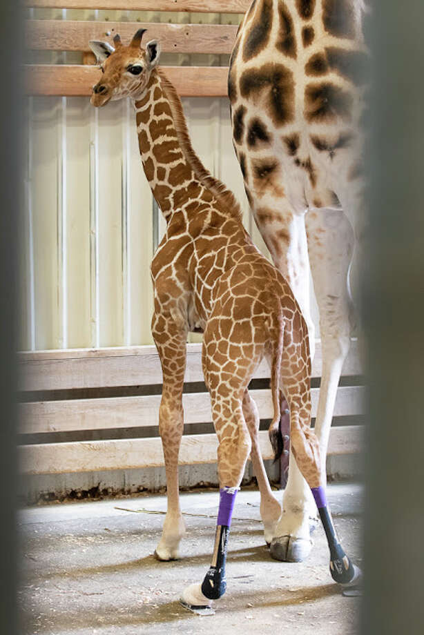 The little calf, now named Hasani, stands tall next to mom Olivia in the morning light of the giraffe barn. His custom-made shoes help support his legs and guide alignment. Photo: Jeremy Dwyer-Lindgren/Woodland Park Zoo