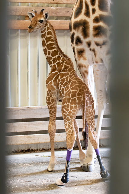 Baby giraffe at Seattle's Woodland Park Zoo gets a new name and a new pair of shoes