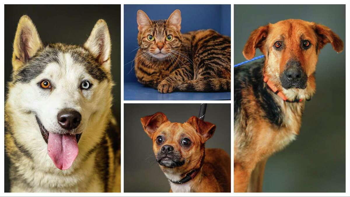 Dogs and cats currently available for adoption at the Houston Humane Society, in Houston. Photographed Tuesday, May 14, 2019.