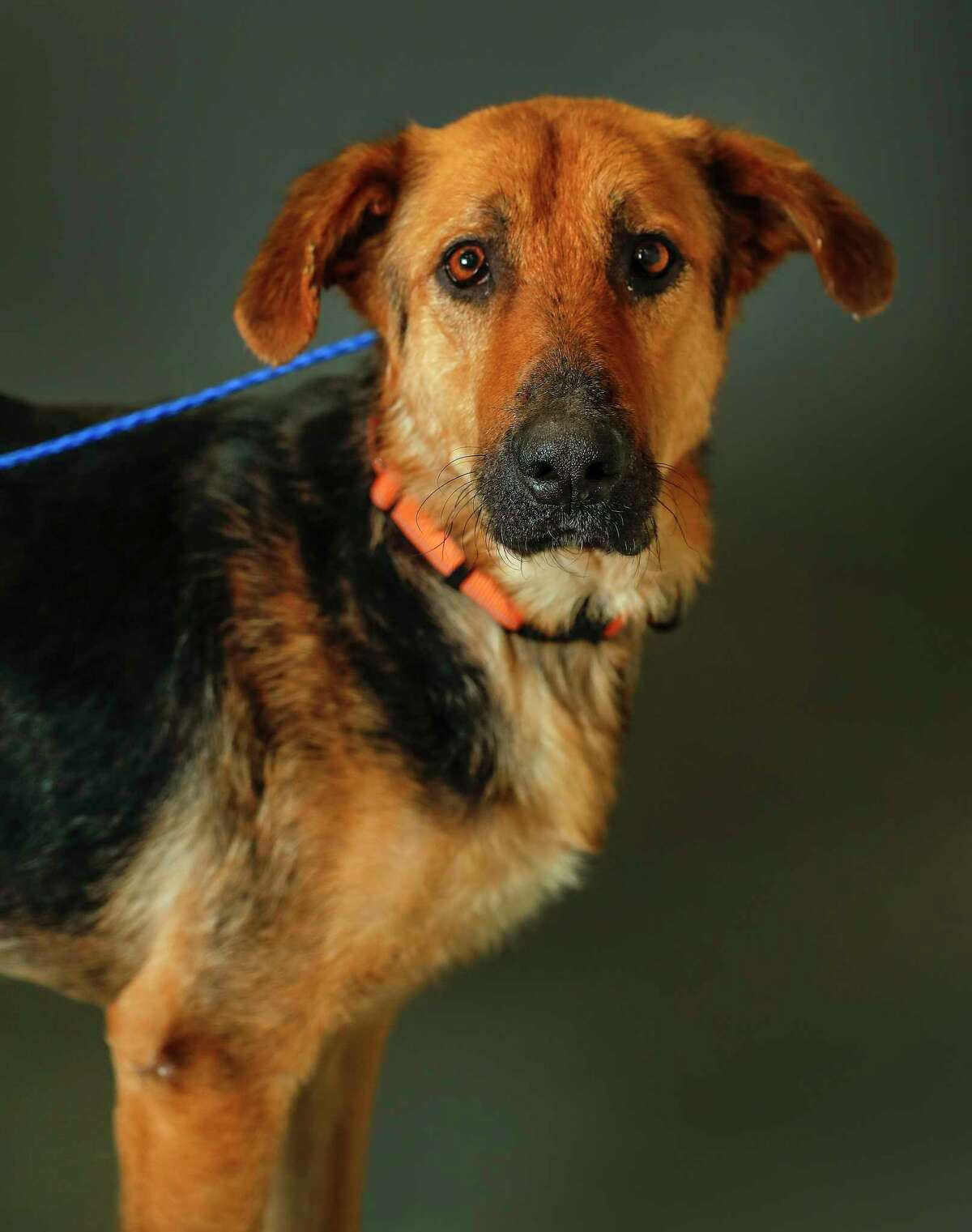 Rico is a 2-year-old, male, German Shepherd mix available for adoption at the Houston Humane Society, in Houston.