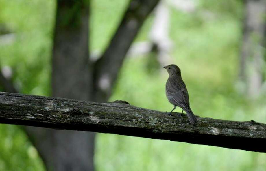 May 17: A bird walk is set for 8 to 10 a.m. at Chippewa Nature Center, 400 S. Badour Road in Midland. (photo provided)