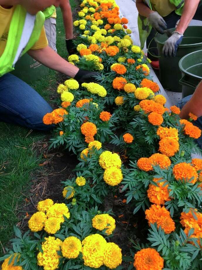Volunteers plant marigolds along Eastman Avenue during a previous Midland Blooms beautification project. (Photo provided)