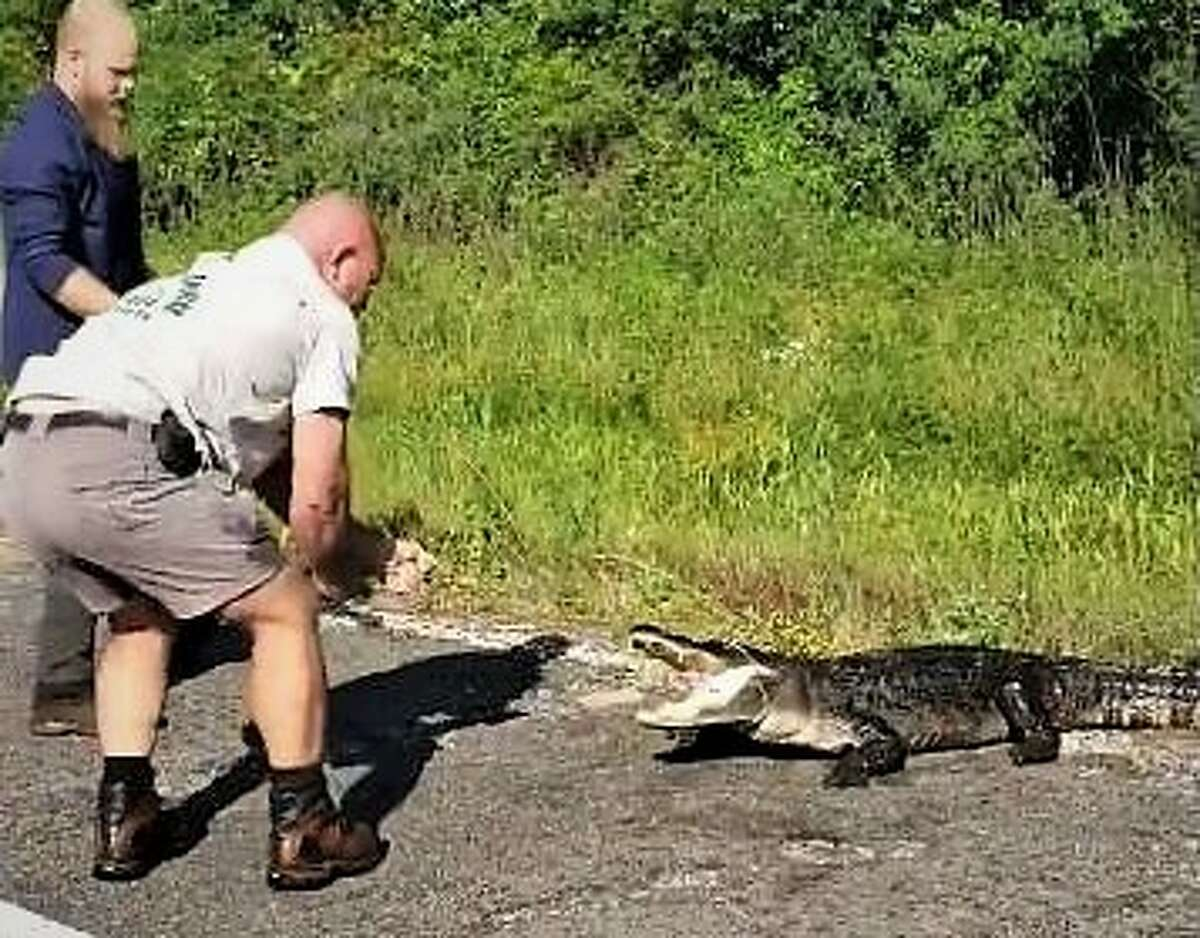North of town A 170-pound alligator was caught on U.S. 59 near Cleveland, Texas Wednesday, May 15, 2019.