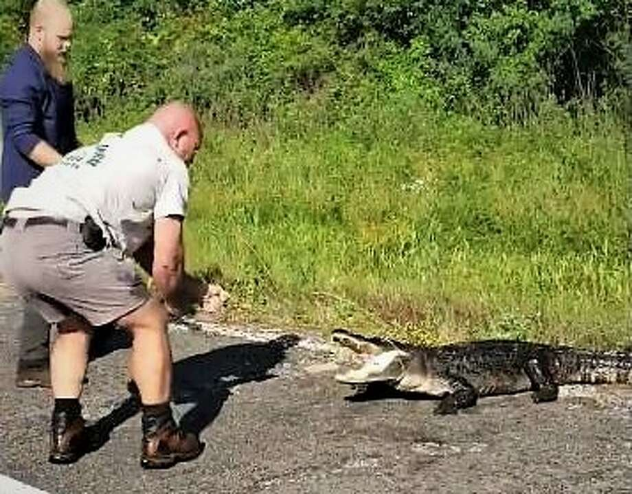North of townA 170-pound alligator was caught on U.S. 59 near Cleveland, Texas Wednesday, May 15, 2019. Photo: Courtesy