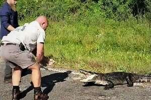 A 170-pound alligator was caught on U.S. 59 near Cleveland Wednesday.
