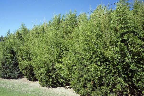 Golden bamboo is perhaps the most invasive plant that is grown in Texas landscapes.