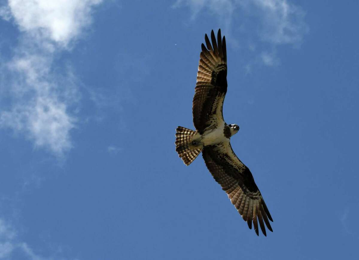 Keep clicking for recent wild animal sightings in the Capital Region. An osprey patrols the Hudson River in search of food on Thursday, May 16, 2019, near Riverfront Park in Troy, N.Y. (Will Waldron/Times Union)