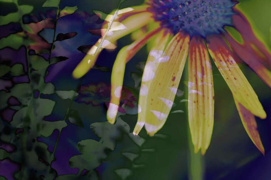 """1967 Echinacea,"" by Marcy Juran. Photo: Gallery At Still River Editions / Contributed Photo"