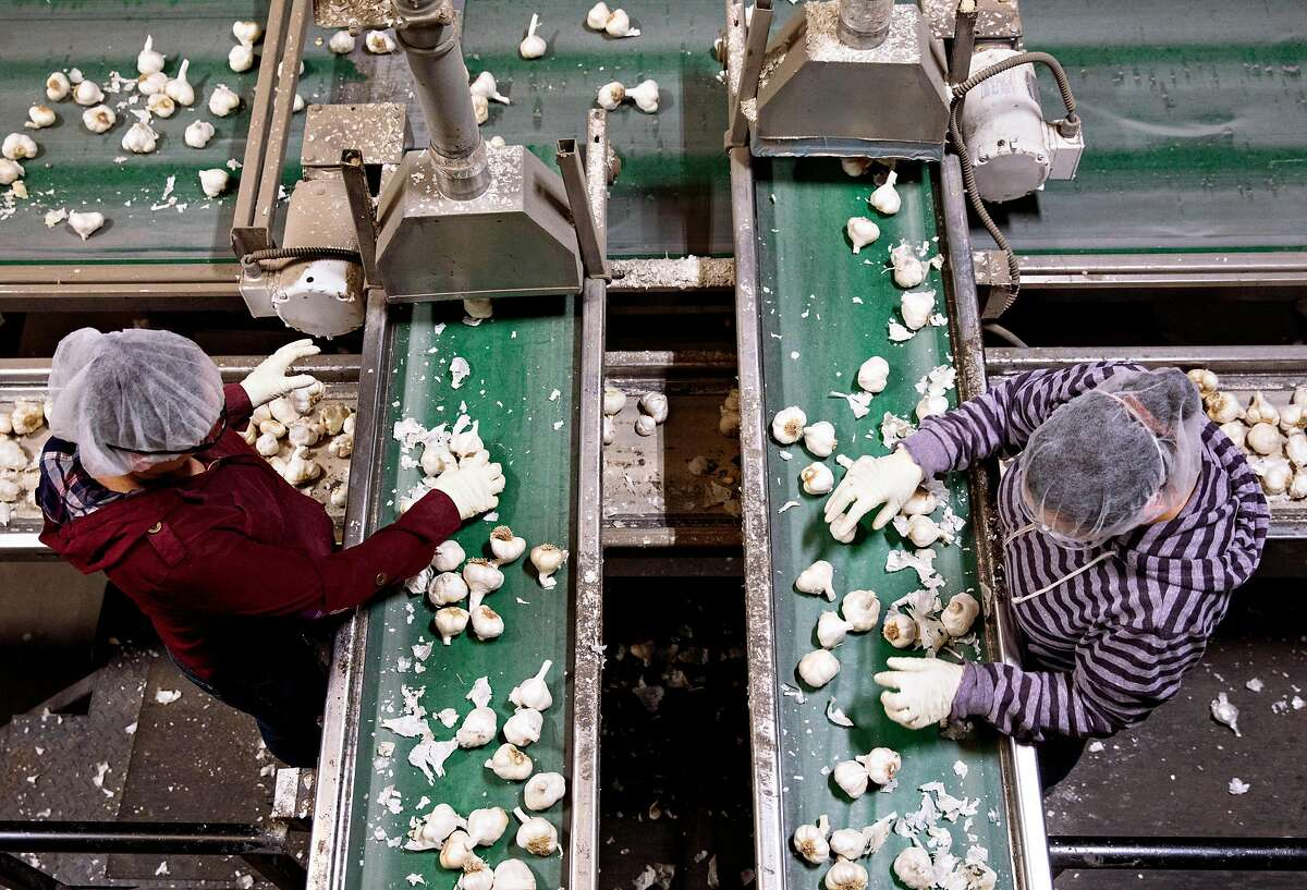 Workers hand sort large bulbs of garlic as they make their way down a conveyer belt at the Christopher Ranch garlic farm in Gilroy, Calif. Wednesday, May 15, 2019.