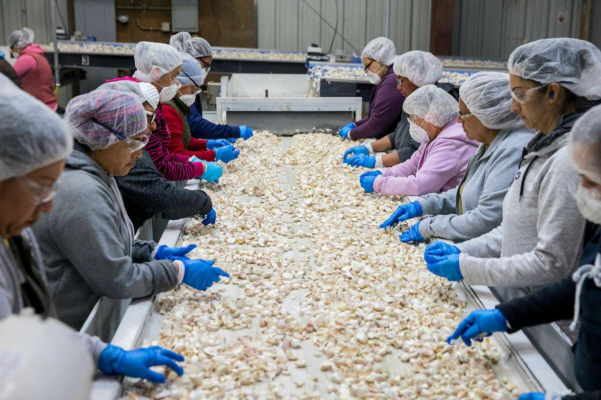Workers hand sort garlic cloves as they make their way down a series of conveyer belts at the Christopher Ranch garlic farm in Gilroy, Calif. Wednesday, May 15, 2019.