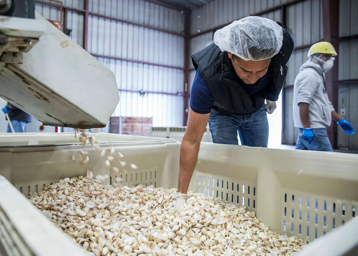 Ken Christopher picks out desirable garlic cloves as they move down a conveyer belt at the Christopher Ranch garlic farm in Gilroy, Calif. Wednesday, May 15, 2019.