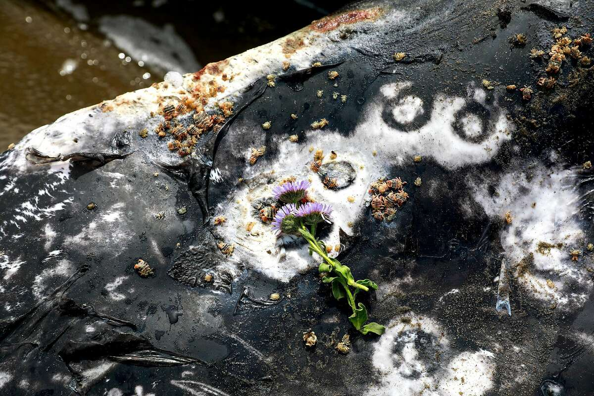 Flowers are seen on a dead whale at Ocean Beach in San Francisco, California, on Monday, May 6, 2019.