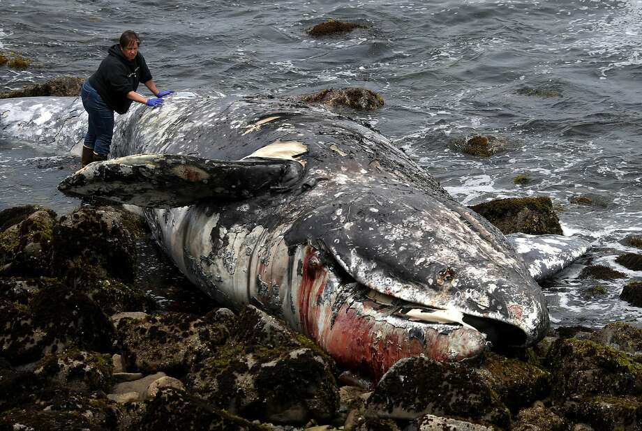13th dead whale of the year washes up in Bay Area