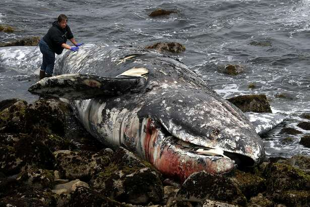 PACIFICA, CALIFORNIA - MAY 14: A representative from the California Academy of Sciences inspects a dead gray whale as it sits on the beach near Pacifica State Beach on May 14, 2019 in Pacifica, California. A tenth gray whale since March has washed up dead on shore in the San Francisco Bay Area. Necropsies performed on 8 of the ten whales have determined that 4 of the whales died of malnutrition and 4 were killed by ship strikes. (Photo by Justin Sullivan/Getty Images)