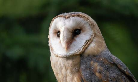United Airlines is helping to keep barn owls away from San Francisco International Airport by trapping and moving them to golf courses.