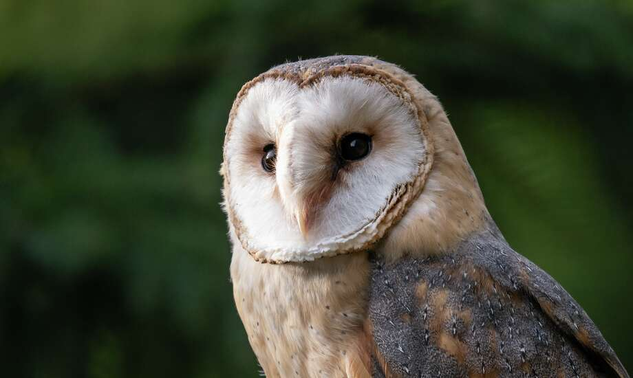 United Airlines is helping to keep barn owls away from San Francisco International Airport by trapping and moving them to golf courses. Photo: Shutterstock