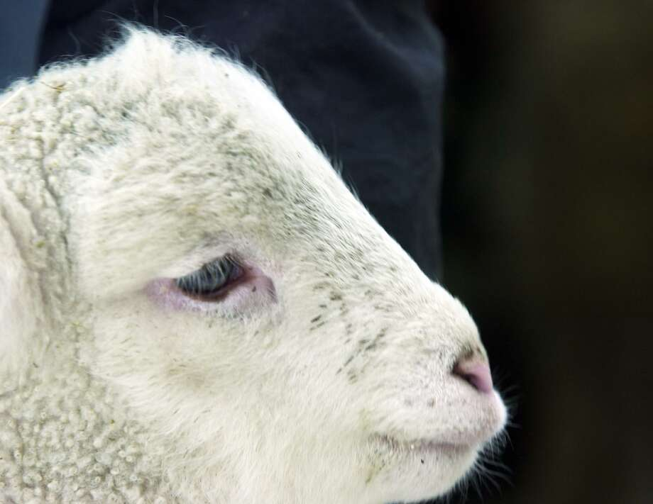 A black bear is believed to have killed a lamb that is missing in Plainfield. On Friday, May 17, 2019 police said the town's Animal Control believes the lamb is likely dead after its enclosure was destroyed. Photo: Kerry Sherck / ST