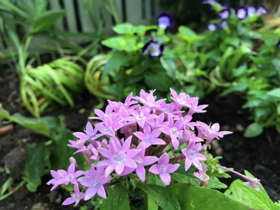 Sunstar pentas bloom in a bed with torenia, emerging peacock ginger and 'ponytailed' leucojum foliage. Photo: Molly Glentzer / Houston Chronicle
