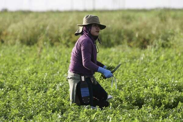 Campesino mexicano cosechando perejil a mano en Belle Glade, Fla.