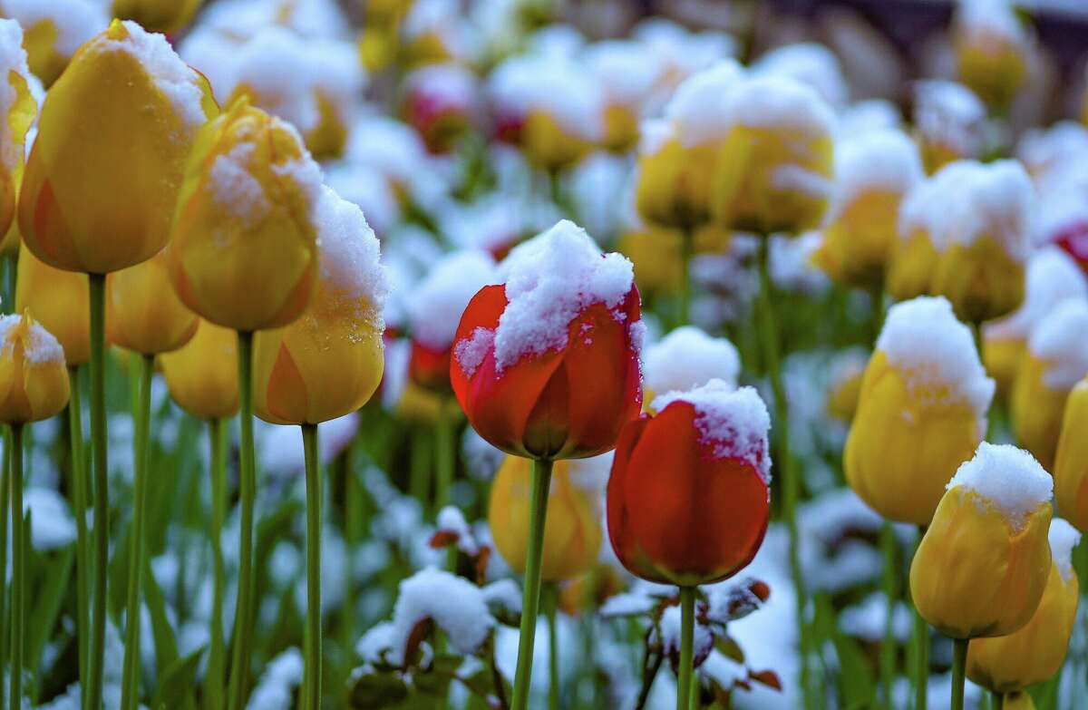 Photographer Melina Grasso photographed snow-covered tulips in South Lake Tahoe after an unseasonably potent storm hit the region in mid-May 2019.