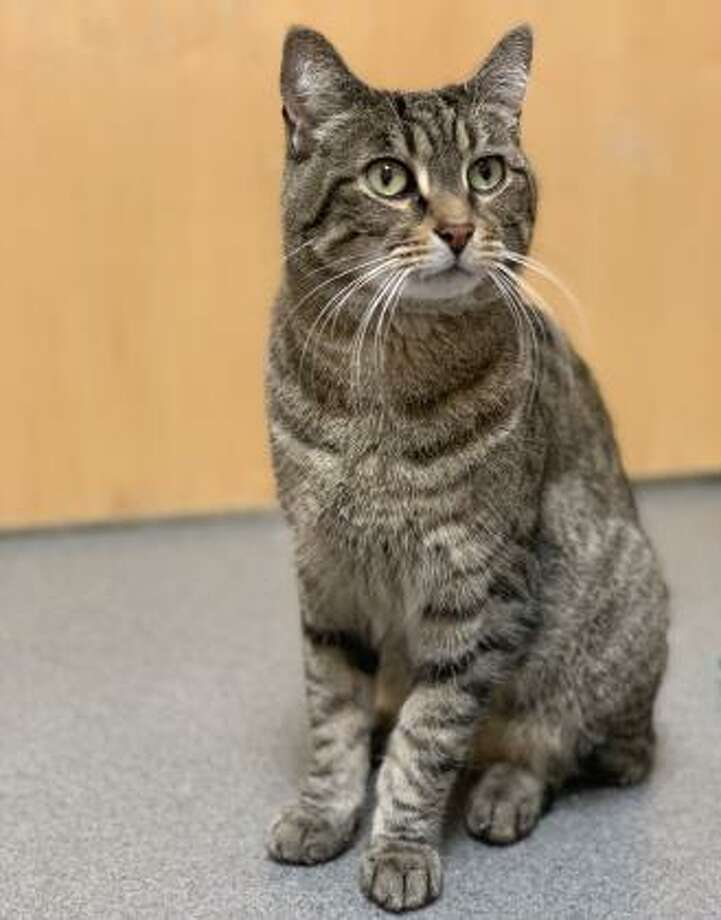 """Fenway is the only """"senior"""" cat here in Newington, meaning he is an 8-year-old, but hey certainly is far from retirement. He loves action and would be comfortable living in a busy home. This kitty would also prefer to be the only pet in the home so he can get all the attention. Fenway has not had much experience with children but he is willing to consider sharing his home with kids who can be gentle and respectful of pets. Fenway does have some special needs, but he still has lots of life to live and love to give. Please ask the adoption counselor to explain when you visit with Fenway in Newington. Remember, the Connecticut Humane Society has no time limits for adoption. Inquiries for adoption should be made at the Connecticut Humane Society located at 701 Russell Road in Newington or call toll free: 1-800-452-0114. Photo: Contributed Photo"""