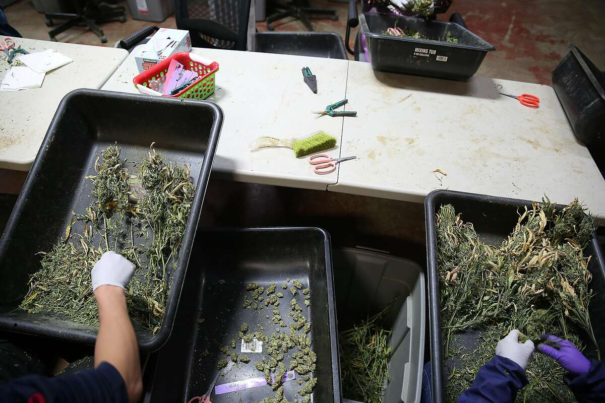 Buds being hand trimmed at Bloom Innovations, a horticulture consulting and management firm distributing cannabis products � seeds, flowers, concentrates, infused edibles and more � under the brand name NUG, a Bloom subsidiary on Wednesday, December 13, 2017, in Oakland, CA.