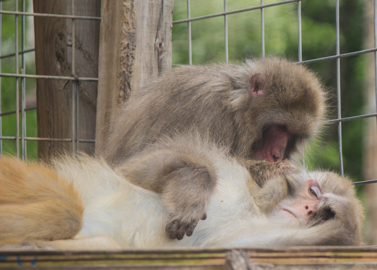 A year after escaping crate at San Antonio airport, Dawkins the macaque 'doing great' at sanctuary